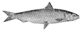 fish pilchard ocean sealife illustration artwork drawing