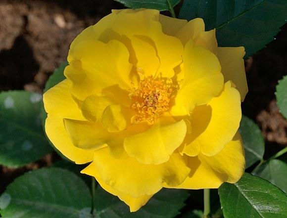 Stuttgardia сорт розы фото отзывы купить саженцы Минск