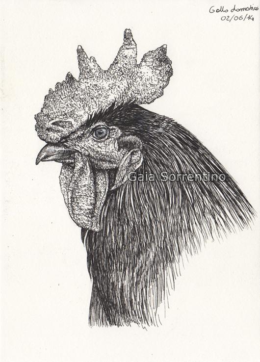 Gaia sorrentino disegnatrice naturalista gallo domestico for Lupo disegno a matita