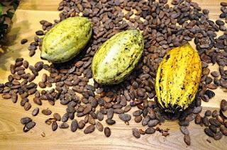 Cara membersihkan biji kakao