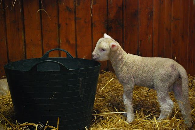 Young lamb - Gorgie City Farm