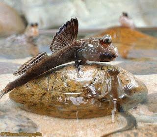 mudskipper balığı