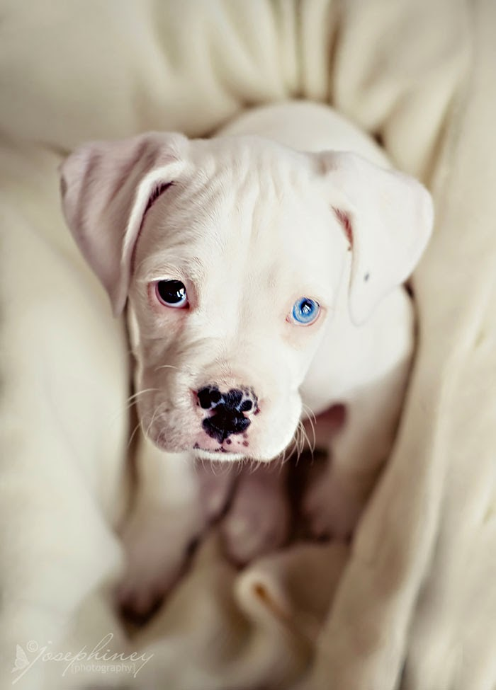 عيون الحيوانات مختلفة الألوان