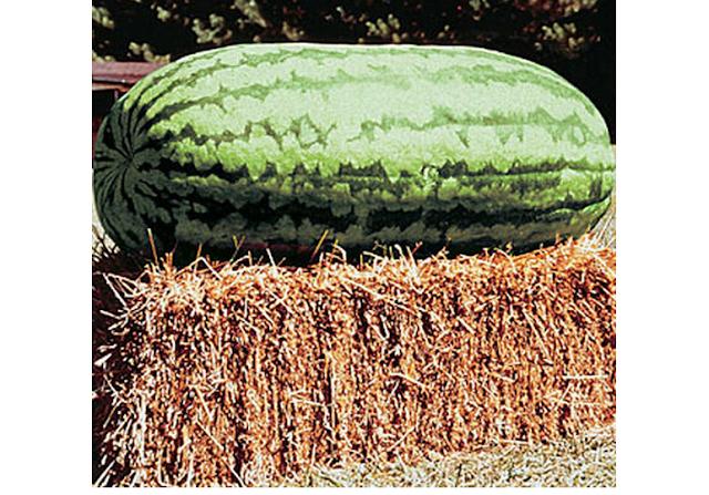 Αυτό είναι το μεγαλύτερο καρπούζι 118 κιλά βάρος