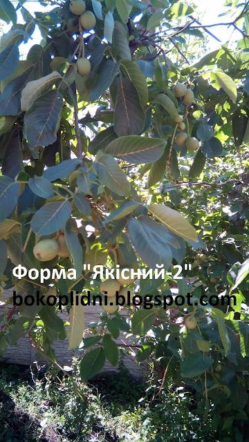 латеральный орех УКРАИНА