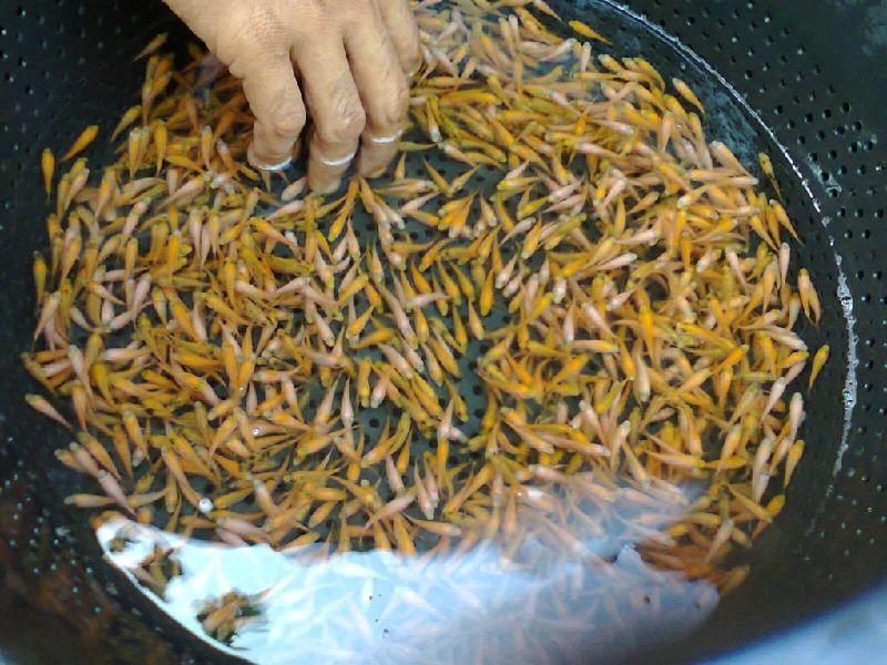 Gambar Ikan Hias Aquarium Tanpa Oksigen - Ikan Nila