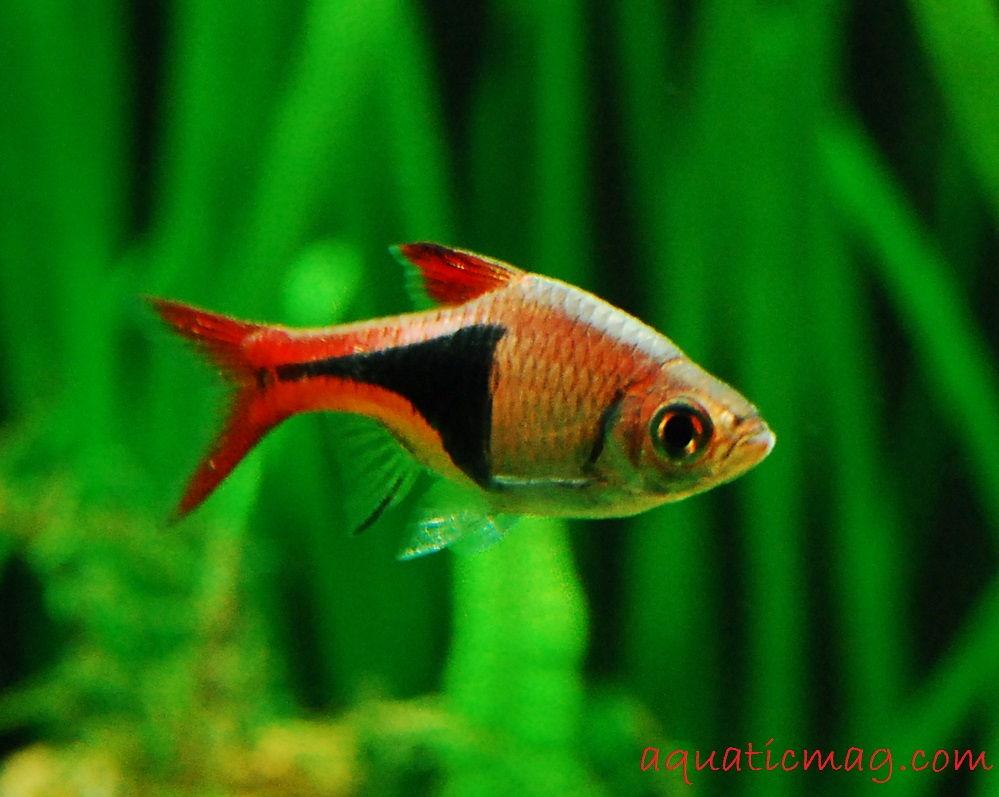 Gambar Profil Ikan Hias Rasbora Harlequin Dan Cara Merawatnya