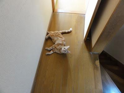 廊下で横たわる猫