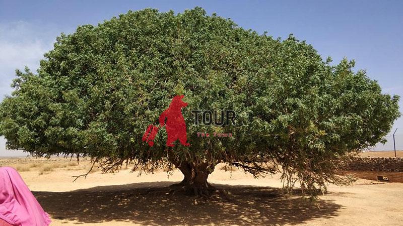 Places of Interest in Jordan, Sahabi Tree