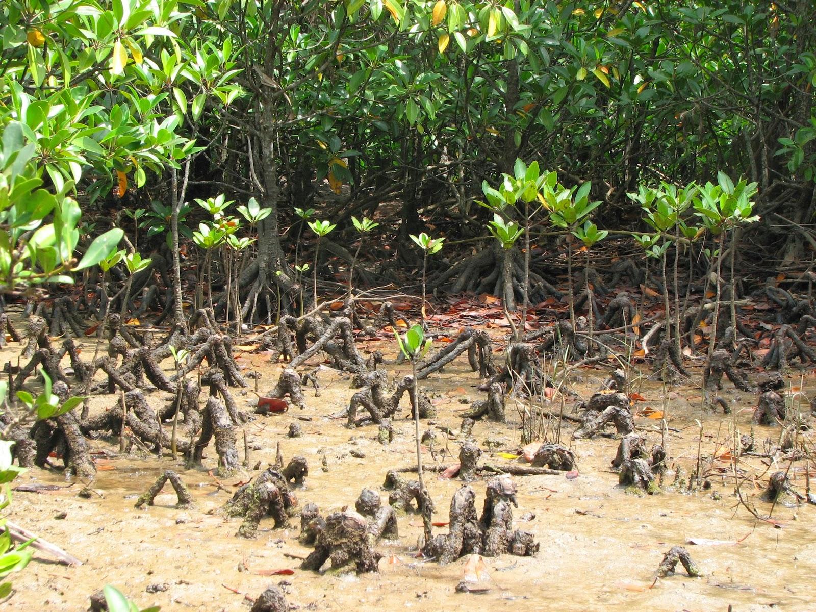 Mangrove (Laporan Ekologi Umum) ~ ENVIROBLOG