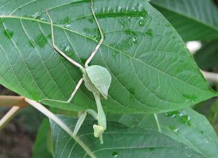 Leaf Praying Mantis