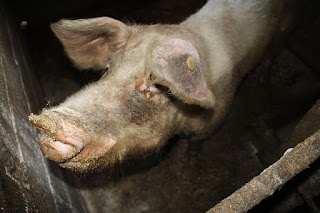 Schwein in dreckigen Stall