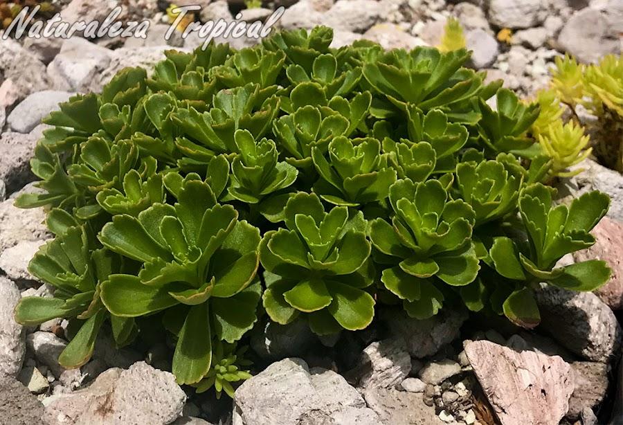 Vista de una colonia de la planta suculenta Sedum kamtschaticum