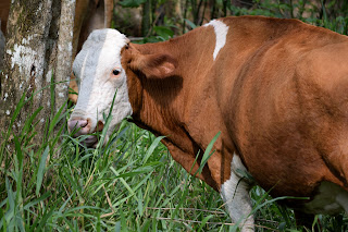 puriscal cow