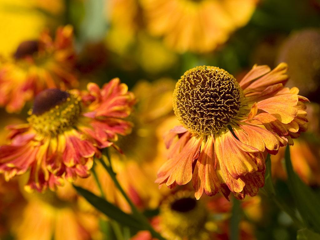 Zinnia Flower Nature Wallpaper Nature Wallpaper