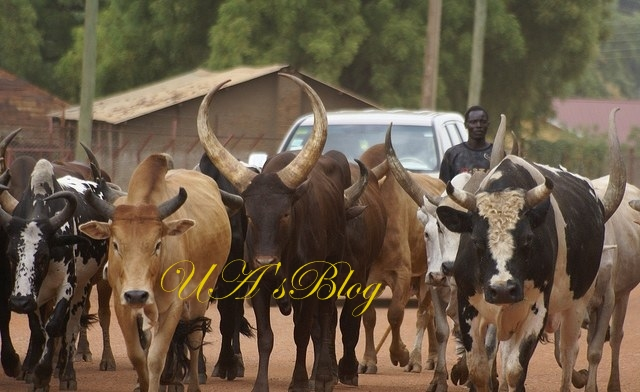 Abuja-Bound Train Crushes 52 Cows In Kaduna