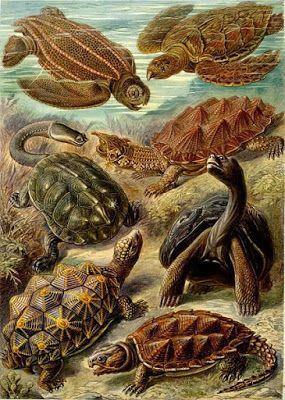 Siete especies de tortugas