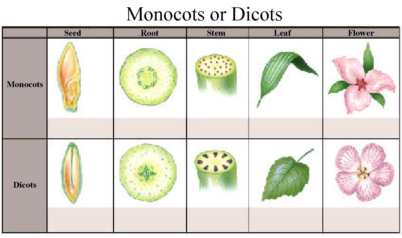 Sains Dan Teknologi Plants Monocotyledon And