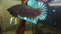 Ciri-ciri ikan cupang adu siap tempur