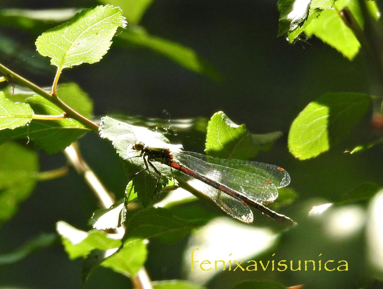 fenixavisunica .: Algunas libélulas