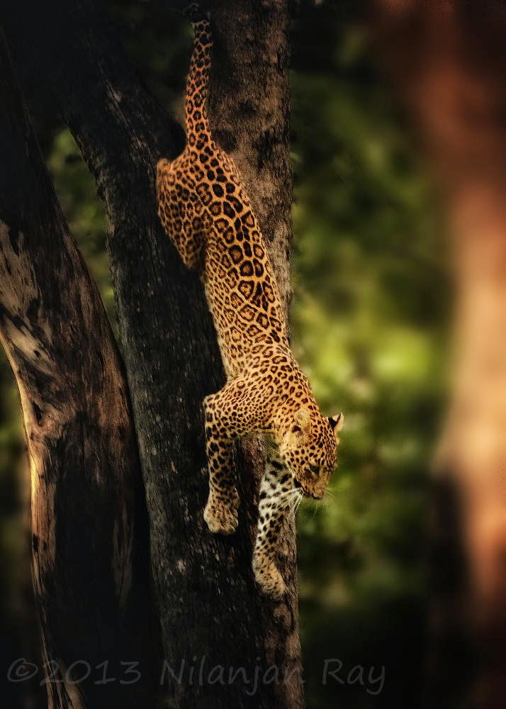 Indian leopard (female) at the Satpura National Park,India 10 Worlds Amazing And Beautiful Forests