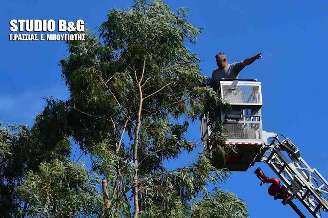 Κοπή επικίνδυνων για πτώση δέντρων στο Ναύπλιο με την συνδρομή της πυροσβεστικής