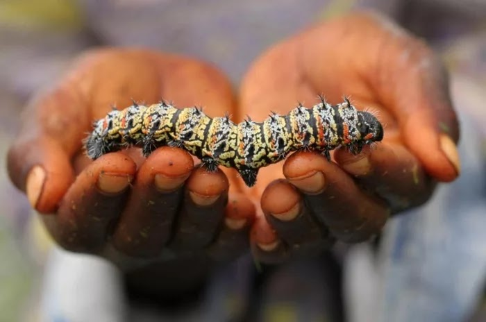21 Extraordinary Pictures Of National Foods That Seem Uncanny To The Rest Of The World - Mopane worm, Africa