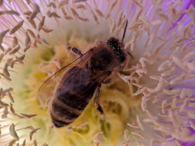 [Aizoaceae] Carpobrotus acinaciformis - macro with bee.