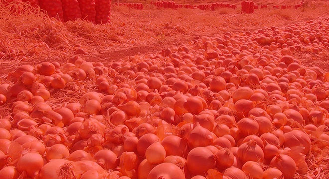 Unsold tons of onions rot in the fields