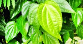 manfaat daun sirih