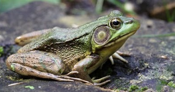 Ringkasan Materi Biologi Vertebrata Amphibi Pintar Biologi