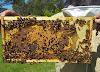 Ο απόλυτος χειρισμός ανάπτυξης: 3 μυστικά αυτής της περίοδου για πολλές παραφυάδες και μεγάλη συλλογή μελιού!