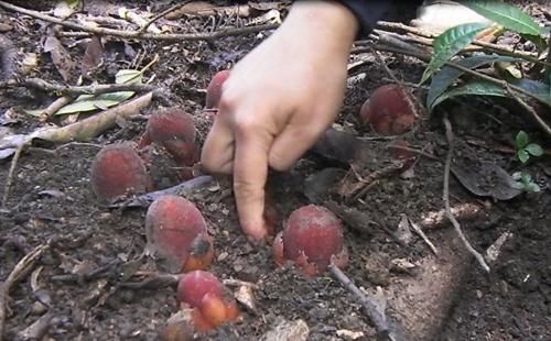 Thu hoạch nấm ngọc cẩu