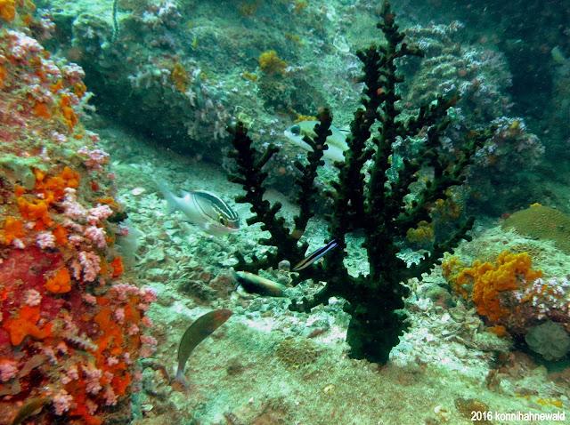 Green velvet acropora coral, andaman sea, koh lipe, thailand, tropical waters, excellent diving, scuba diving,
