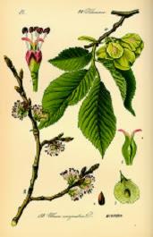 Ulmus minor, caracteristicas de este áerbol