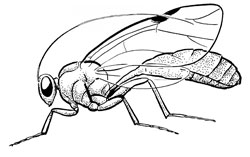 Ordo Hymenoptera