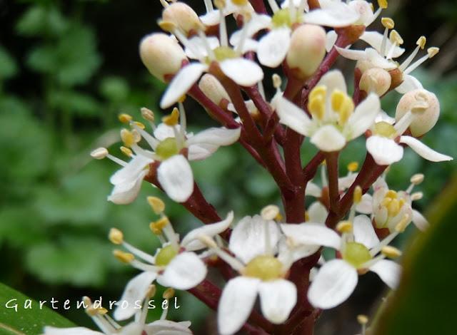 Skimmia weiße Blüten