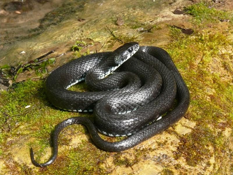 этого ядовитые змеи краснодарского края фото и описание того, даже