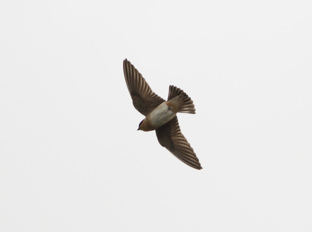 Cave Swallow - SW 216th Street & Ronald Raegan Turnpike, Florida