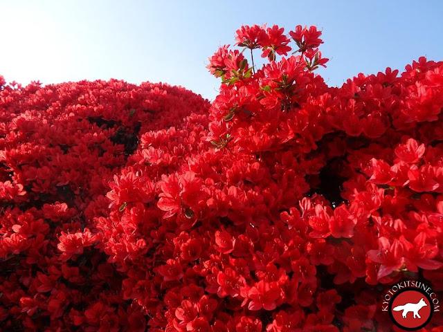 Azalées rouges de Nagaoka