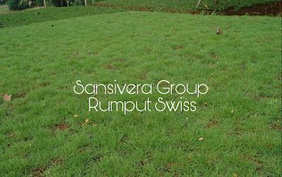 Rumput Swiss Murah