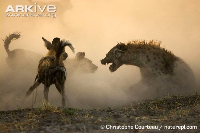hyaenas and african wild dog