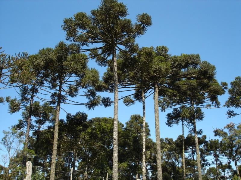 Araucária  ou Pinheiro-do-Paraná (A. brasiliensis)