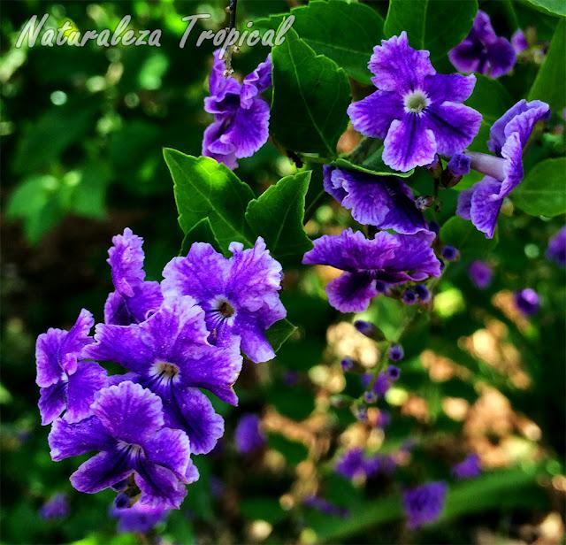Flores púrpuras de la planta Corona de Novia, Duranta erecta
