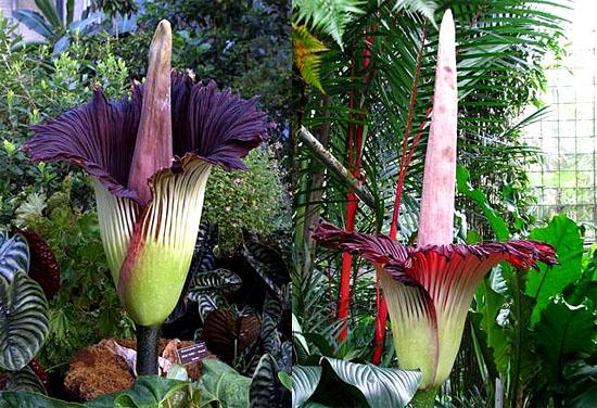 Flor Cadáver - a maior flor do mundo