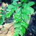 Cara Memperbanyak Tanaman Suplir Dengan Spora Dan Vegetatif