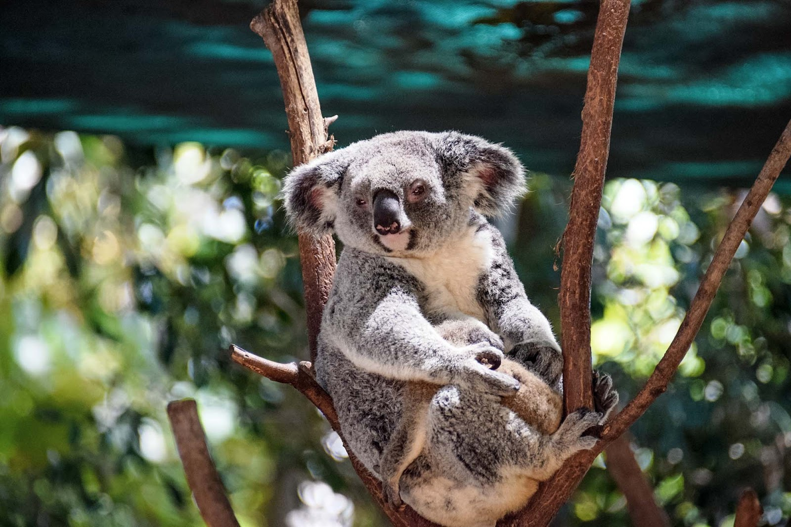 mother and baby koala at currumbin wildlife sanctuary