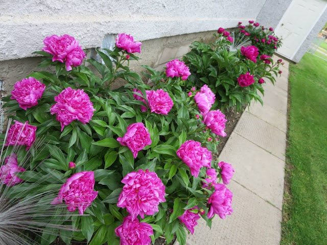 peonies, pink flower