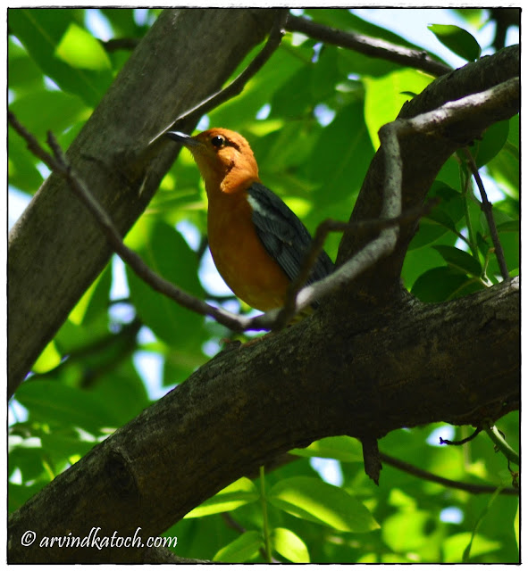 Orange-headed Thrush,