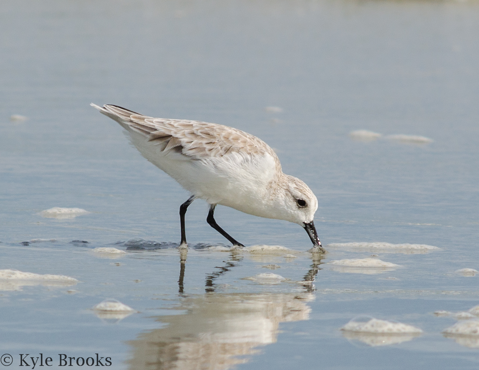 Sanderling Huntington Beach State Park